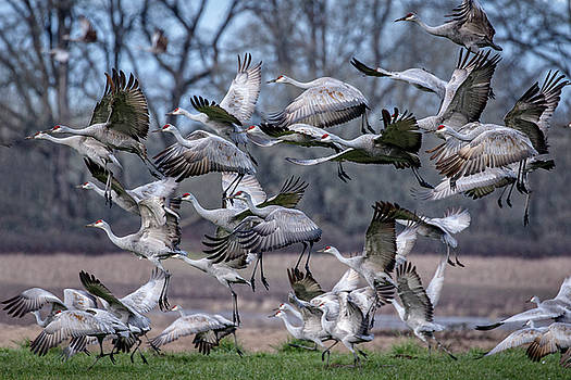 Sandhill Crane Blast Off by Wes and Dotty Weber