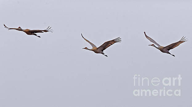 Sandhill Crane Fly Over by Natural Focal Point Photography