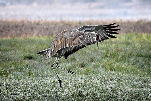 Sandhill Crane War Dance by Wes and Dotty Weber