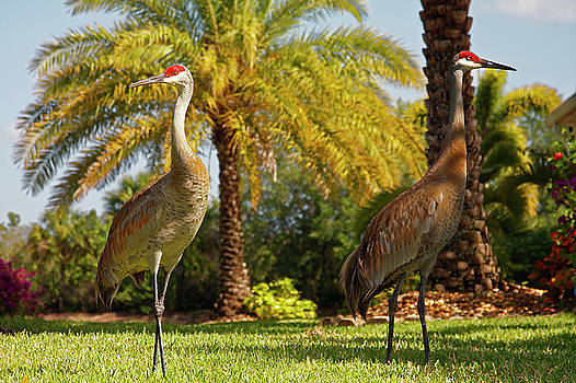 Sandhill Cranes by Palm by Sally Weigand