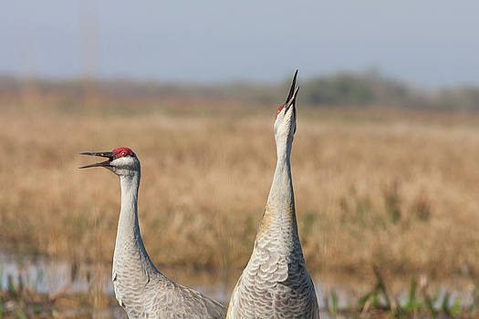 Paul Rebmann - Sandhill Cranes Calling