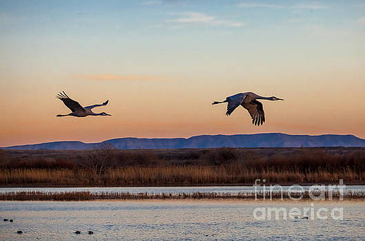 Sandhill Cranes Coming Home by George Cathcart