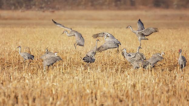 Susan Rissi Tregoning - Sandhill Cranes Dancing