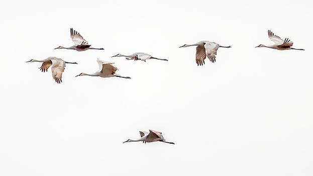 Sandhill Cranes by David Wynia