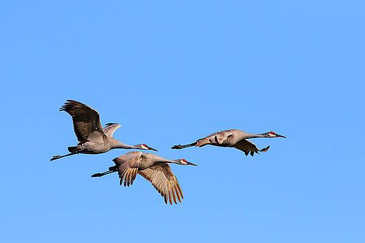 Gary Hall - Sandhill Cranes in Flight