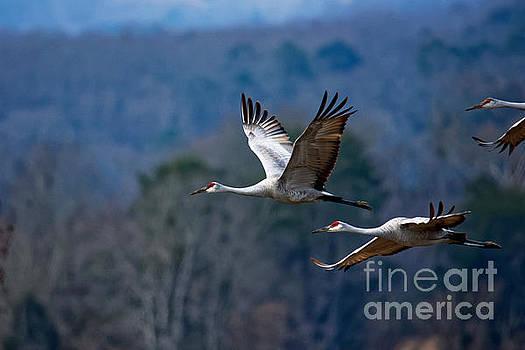 Sandhill Cranes In Flight by Paul Mashburn