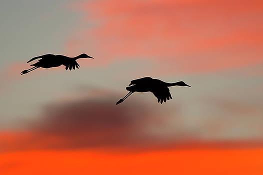 Sandhill Cranes near sunset by George DeCamp