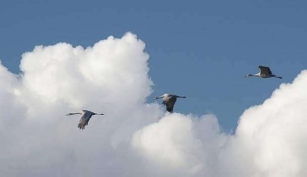 Sandhill Cranes by Tom Kidd
