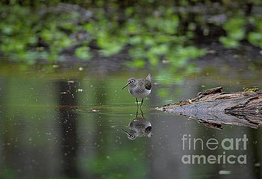 Sandpiper in the Smokies by Douglas Stucky