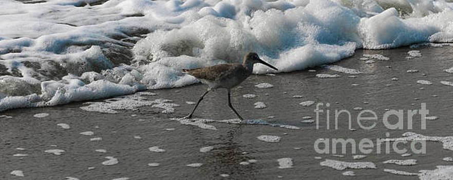 Stilt Sandpiper in the Surf by Thomas Marchessault