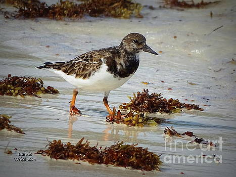 Sandpiper Running Down The Edges by Lainie Wrightson