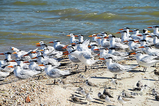 Bob Phillips - Sandpipers and Royal Terns