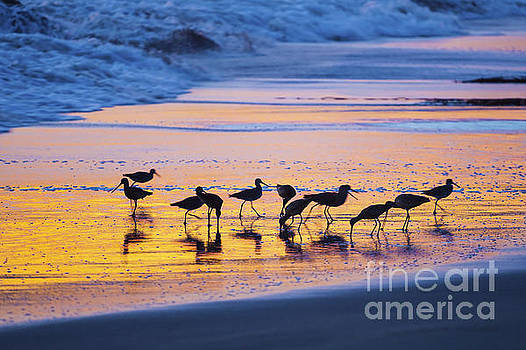 Sandpipers in a golden pool of light by Sharon Foelz