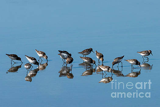 Sandpipers Mirrored by Mike Dawson