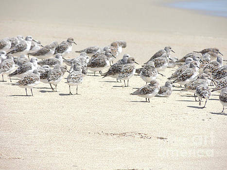 Sandpipers by Robert Ball
