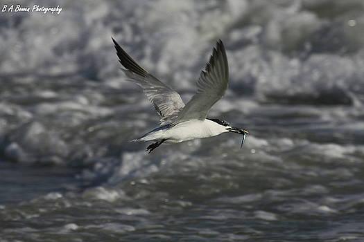 Barbara Bowen - Sandwhich Tern flies over stormy waves