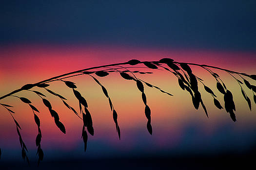 Sanibel Sea Oats by Melanie Moraga