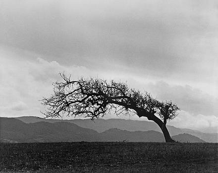 Santa Barbara Pasture Oak by John Gilroy