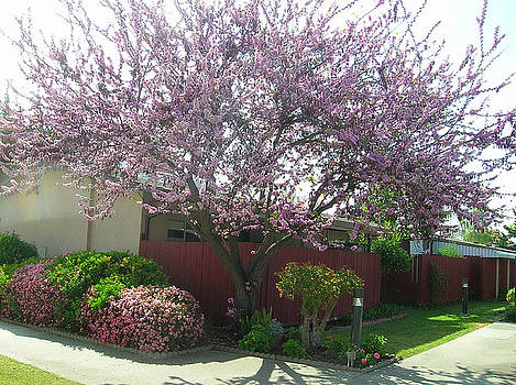 Santa Clara Redbud by Carolyn Donnell