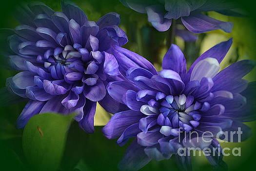 Sapphire Blue Chrysanthemums by Dora Sofia Caputo Photographic Design and Fine Art