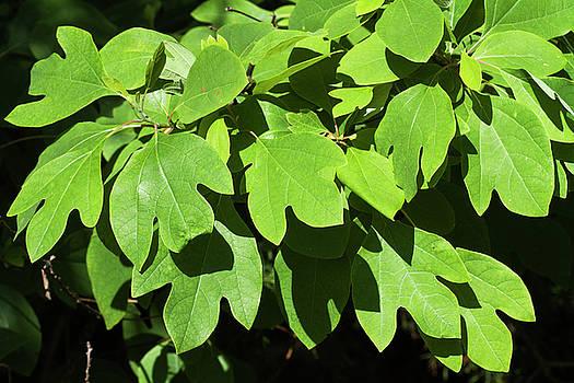 Sassafras Leaves  by Kathy Clark