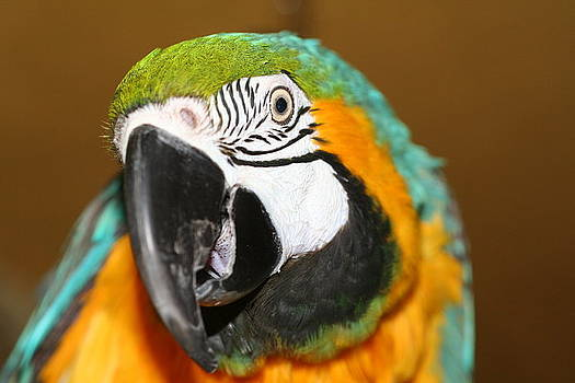 Diane Merkle - Sassy Blue and Gold Macaw