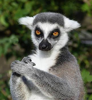 Satisfied Ring-tailed Lemur by Margaret Saheed