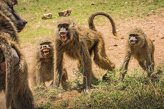 Savanna Baboons 9872 by Janis Knight