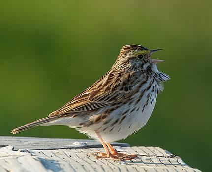 Dee Carpenter - Savanna Sparrow