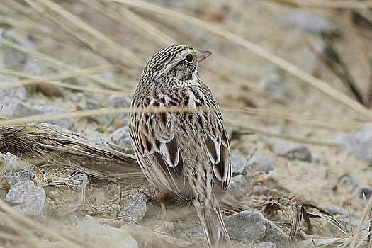 Savannah Sparrow - Ipswich by Linda Crockett