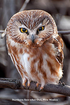 Saw-Whet Owl by Britt Runyon