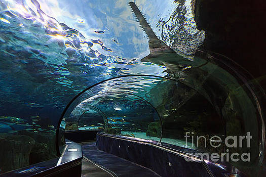 Jill Lang - Sawfish in the Aquarium