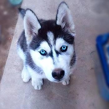 Husky Puppy by Nicole Alvarez