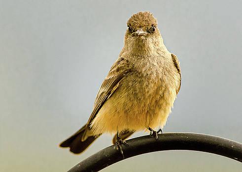Say's Phoebe Ranch Bird by John Brink