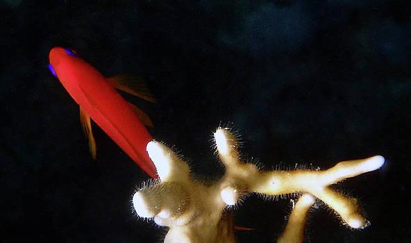 Scalefin Anthias With Corals by Johanna Hurmerinta