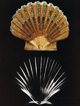 Photo Researchers - Scallop Shell X-ray