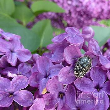 Scarab on Purple Lilac by Jean Bernard Roussilhe