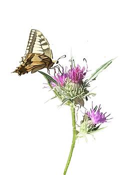 Tracey Harrington-Simpson - Scarce Swallowtail Butterfly and Thistle Background Removed