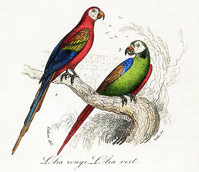 Scarlet and Green Macaw by Unknown