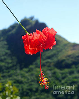 Scarlet Hibiscus by Catherine Sherman