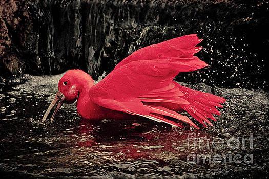 Scarlet Ibis by Petrus Bester