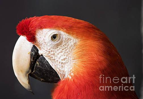 Scarlet Macaw by Bill Frische