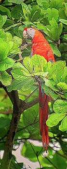 Scarlet Macaw Costa Rica Artistic by Joan Carroll