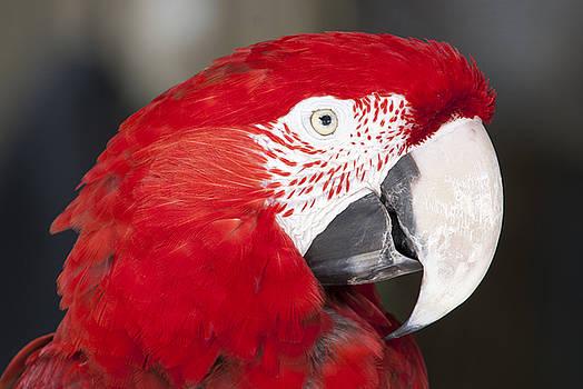 Scarlet Macaw Head in Profile by John McQuiston