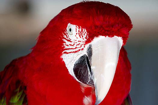 Scarlet Macaw Head by John McQuiston