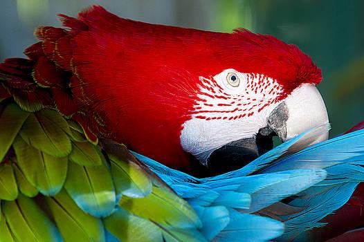 Scarlet Macaw by John McQuiston