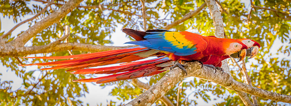 Scarlet Macaw Pair by Fred J Lord