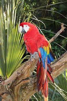 Scarlet Macaw Parrot  by Joanne Askew