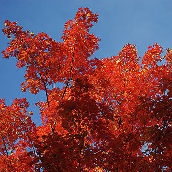 Scarlet maple leaf flames and a clear blue sky by R V James