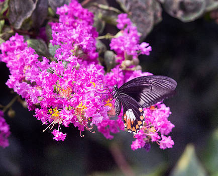 Scarlet Mormon Butterfly by Peter J Sucy